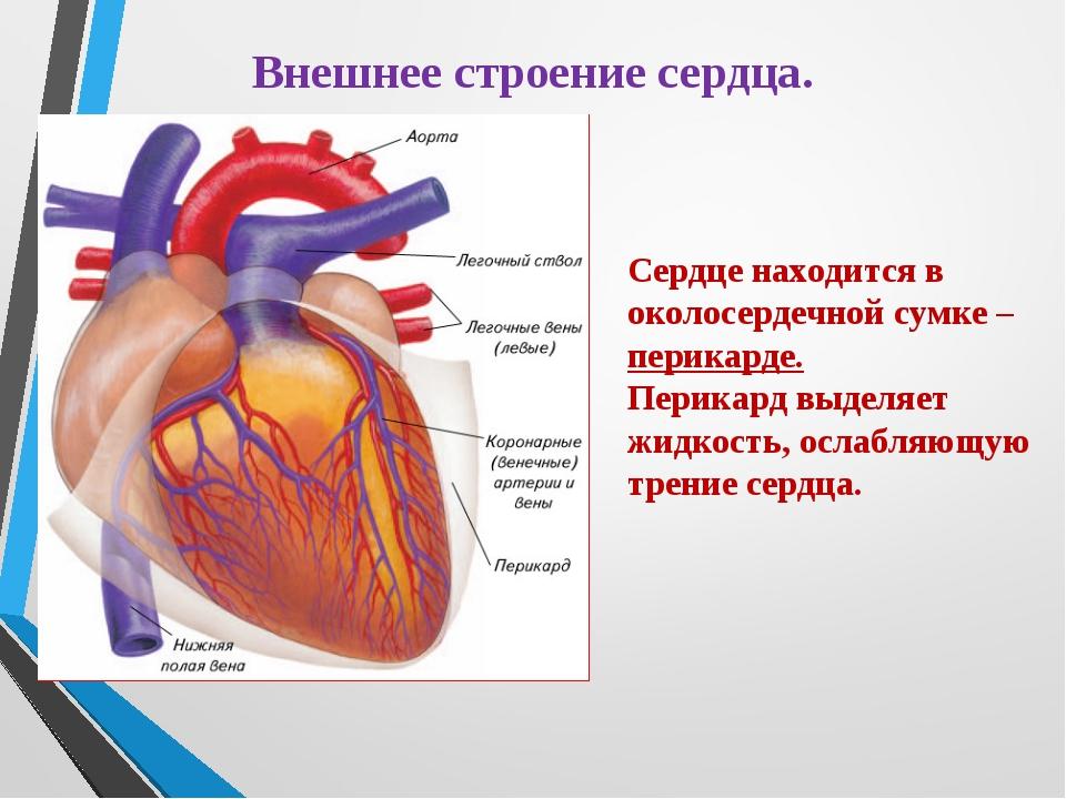 Внешнее строение сердца. Сердце находится в околосердечной сумке – перикарде....