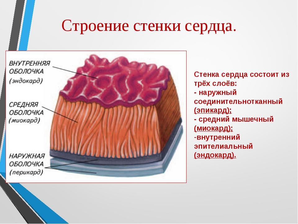 Строение стенки сердца. Стенка сердца состоит из трёх слоёв: - наружный соеди...