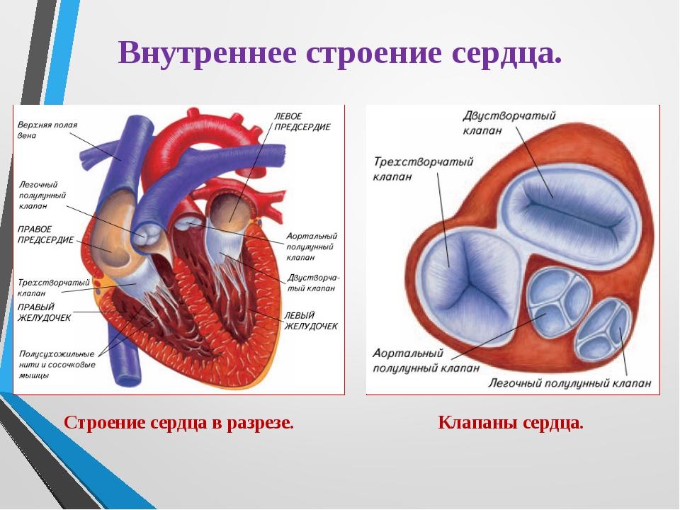 Внутреннее строение сердца. Строение сердца в разрезе. Клапаны сердца.