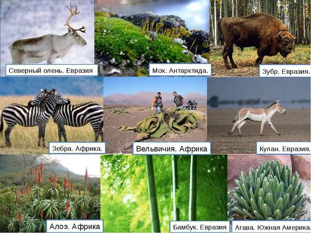 Северный олень. Евразия Мох. Антарктида. Зубр. Евразия. Зебра. Африка. Агава...