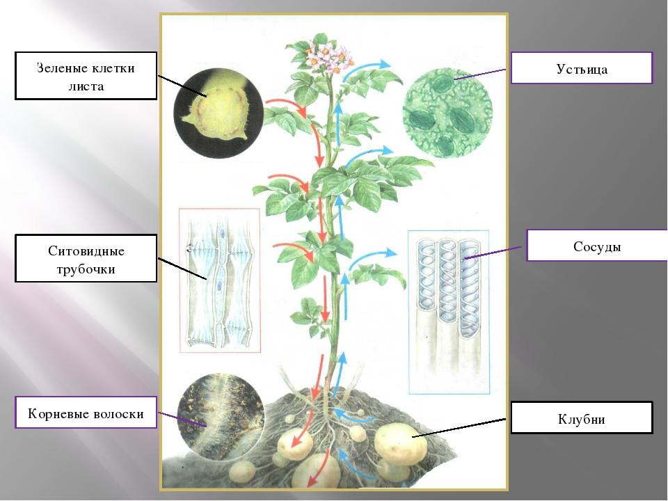 Зеленые клетки листа Ситовидные трубочки Корневые волоски Устьица Сосуды Клубни