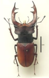 http://dic.academic.ru/pictures/wiki/files/50/200px-lucanus.cervus.mounted.jpg