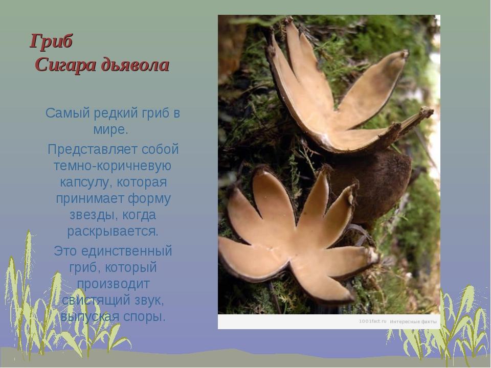 Гриб Сигара дьявола Самый редкий гриб в мире. Представляет собой темно-коричн...