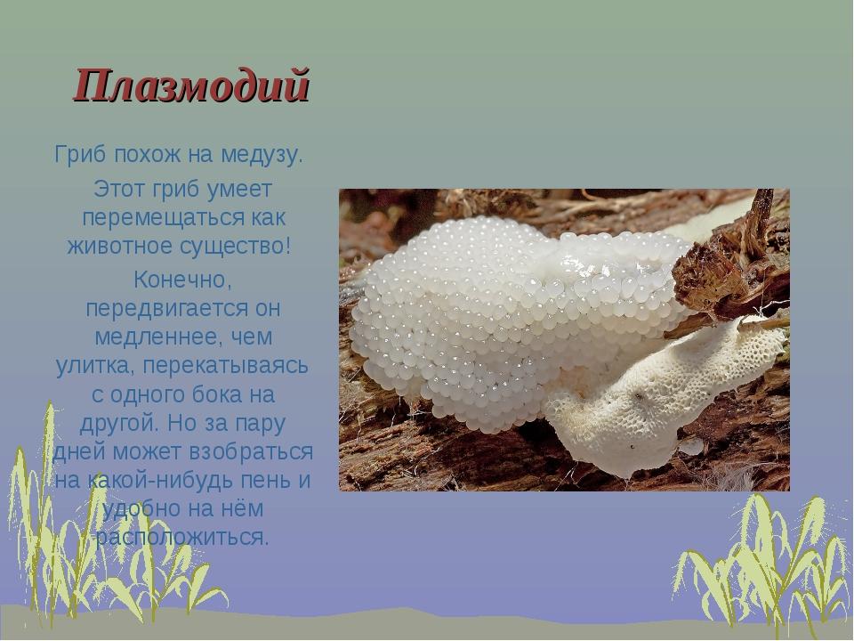 Плазмодий Гриб похож на медузу. Этот гриб умеет перемещаться как животное сущ...