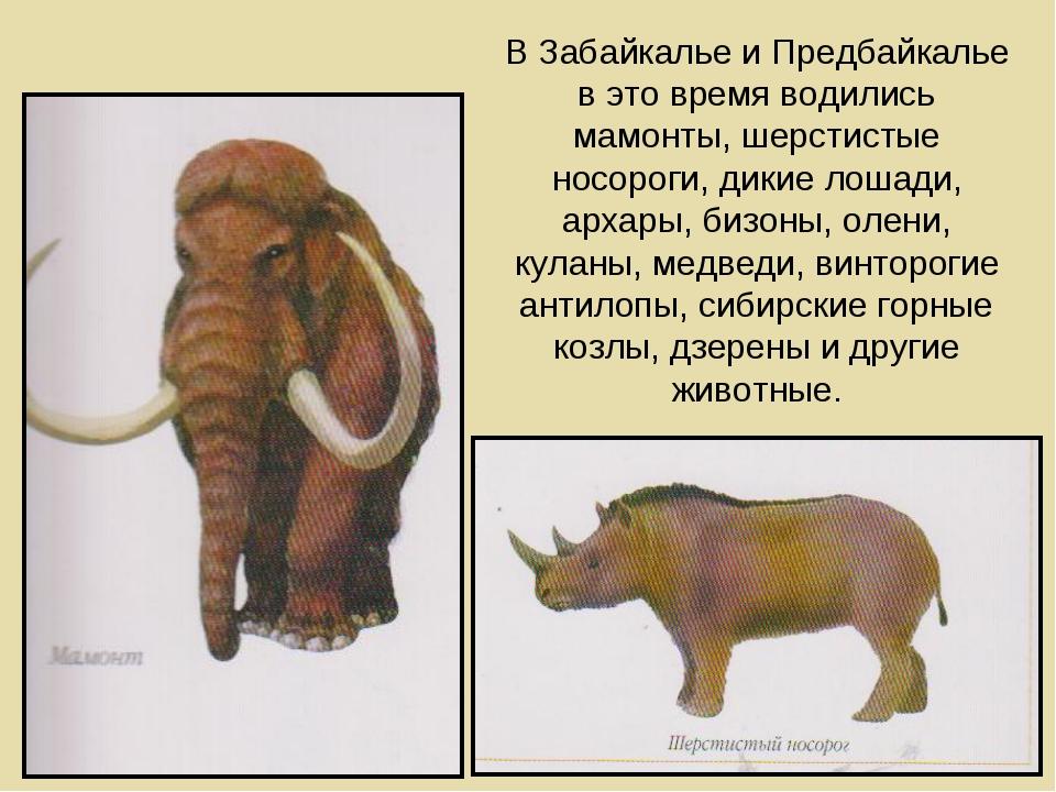 В Забайкалье и Предбайкалье в это время водились мамонты, шерстистые носороги...