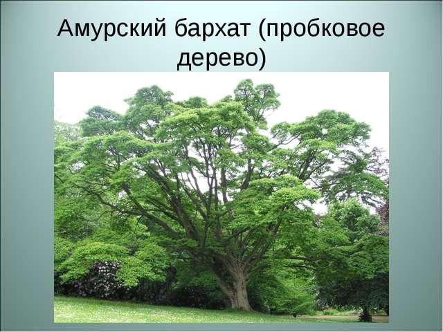 Амурский бархат (пробковое дерево)