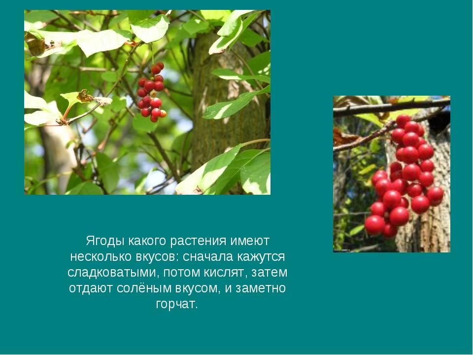 Ягоды какого растения имеют несколько вкусов: сначала кажутся сладковатыми, п...