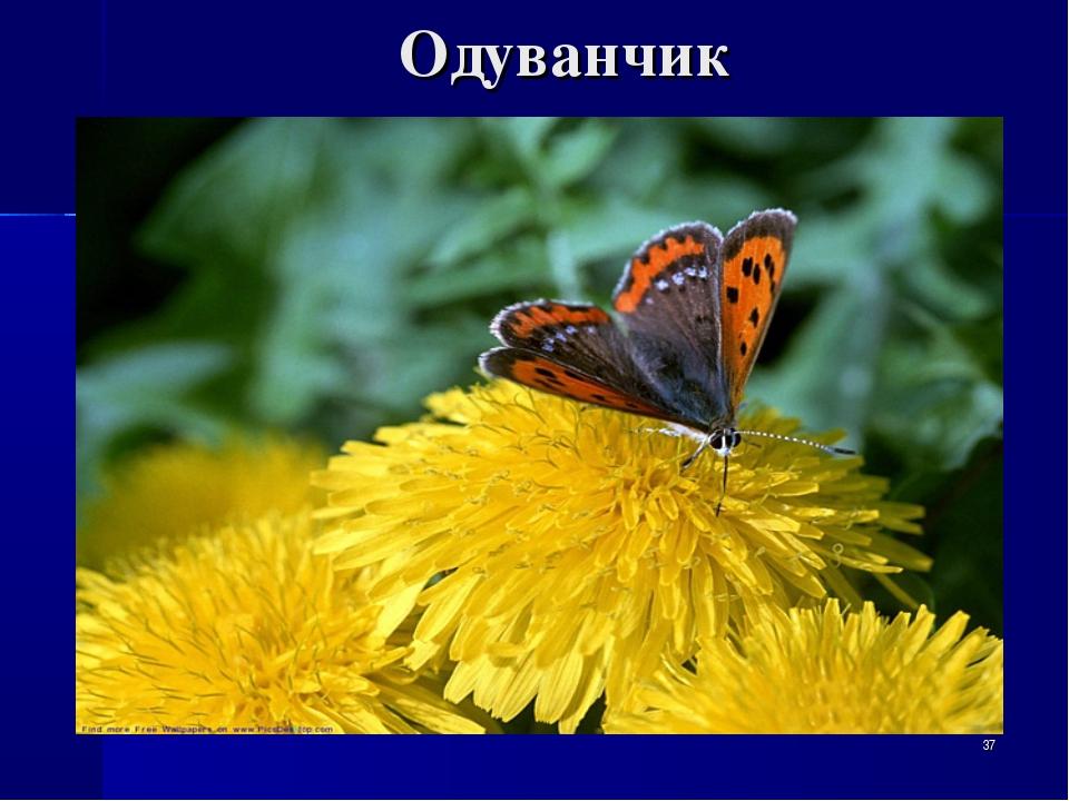 Одуванчик *