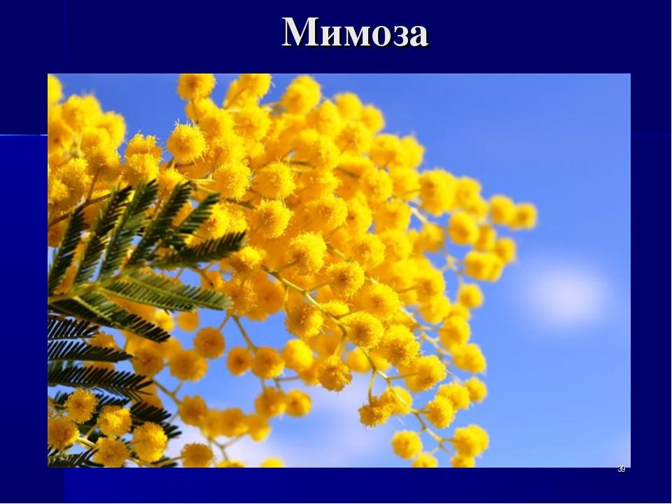 Мимоза *