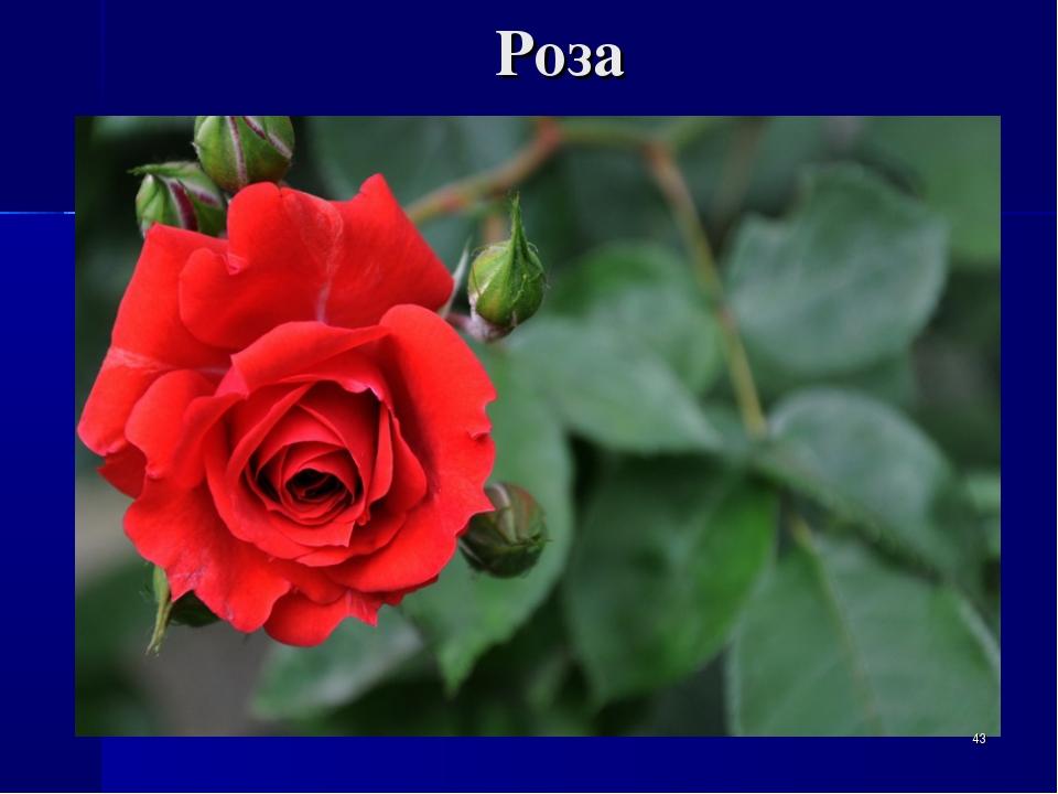 Роза *