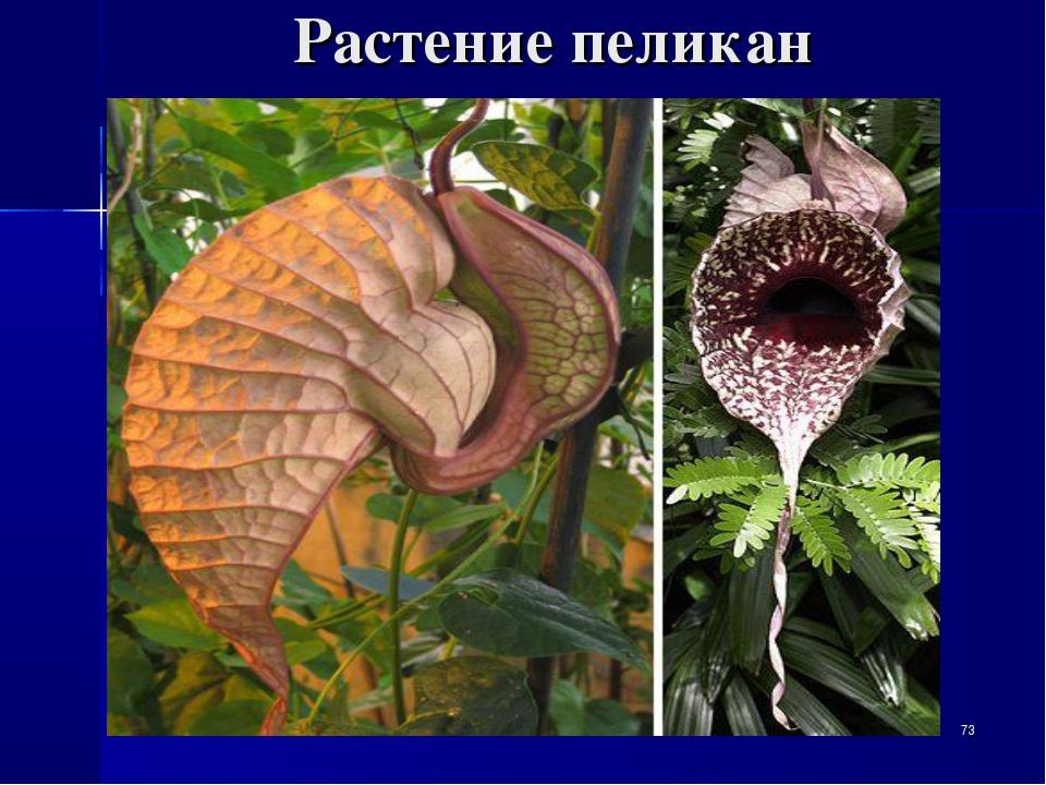 Растение пеликан *