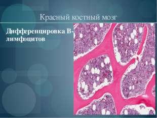 Красный костный мозг Дифференцировка В-лимфоцитов