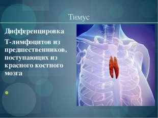 Тимус Дифференцировка Т-лимфоцитов из предшественников, поступающих из красно