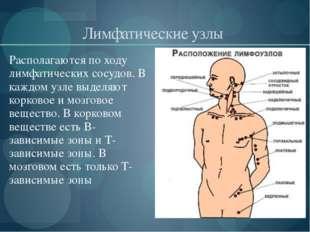 Лимфатические узлы Располагаются по ходу лимфатических сосудов. В каждом узл