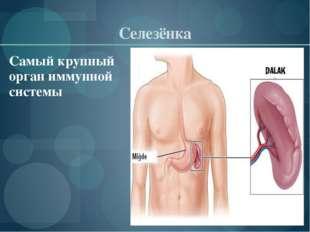 Селезёнка Самый крупный орган иммунной системы