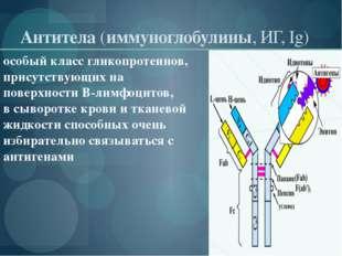 Антитела(иммуноглобулины, ИГ, Ig) особый классгликопротеинов, присутствующи