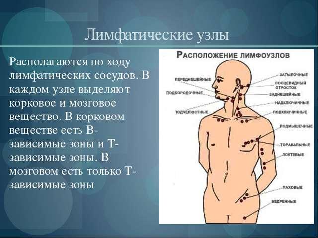 Лимфатические узлы Располагаются по ходу лимфатических сосудов. В каждом узл...