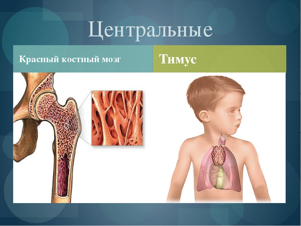 Красный костный мозг Центральные Тимус