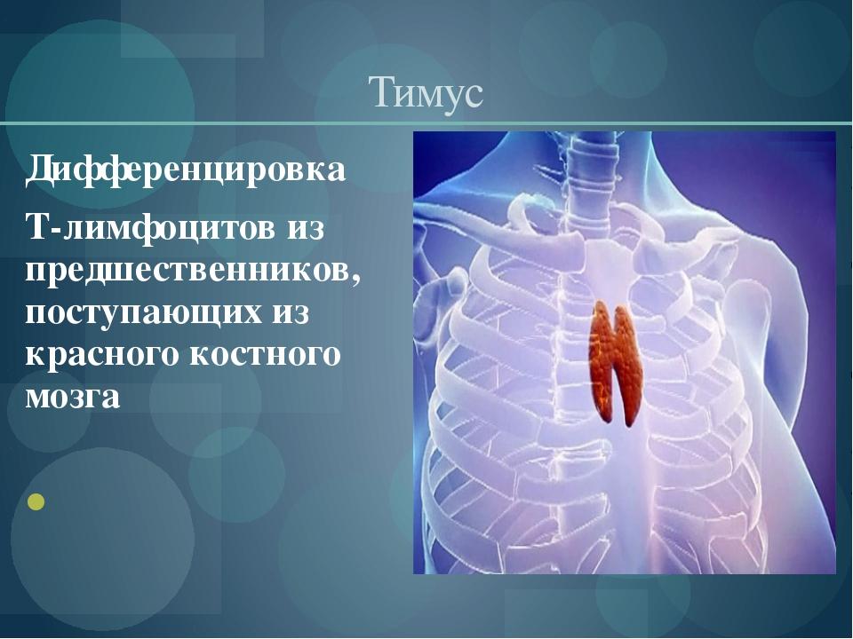 Тимус Дифференцировка Т-лимфоцитов из предшественников, поступающих из красно...