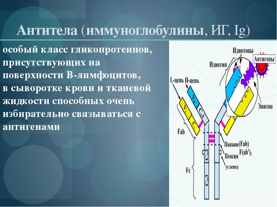 Антитела(иммуноглобулины, ИГ, Ig) особый классгликопротеинов, присутствующи...