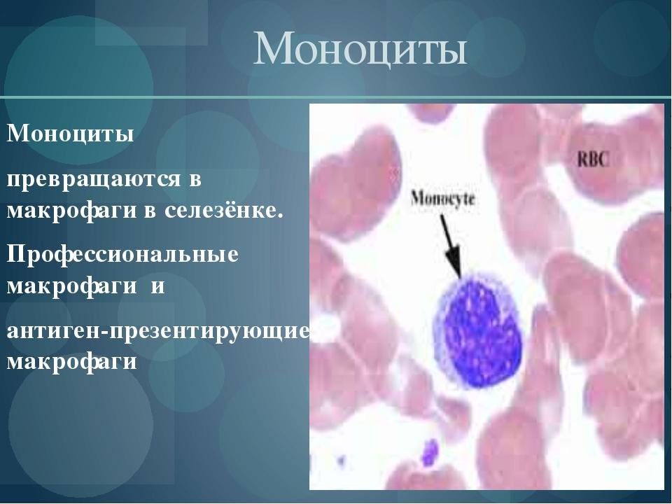 Моноциты Моноциты превращаются в макрофаги в селезёнке. Профессиональные ма...