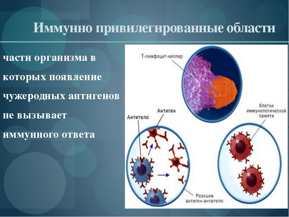 Иммунно привилегированные области части организма в которых появление чужеро...