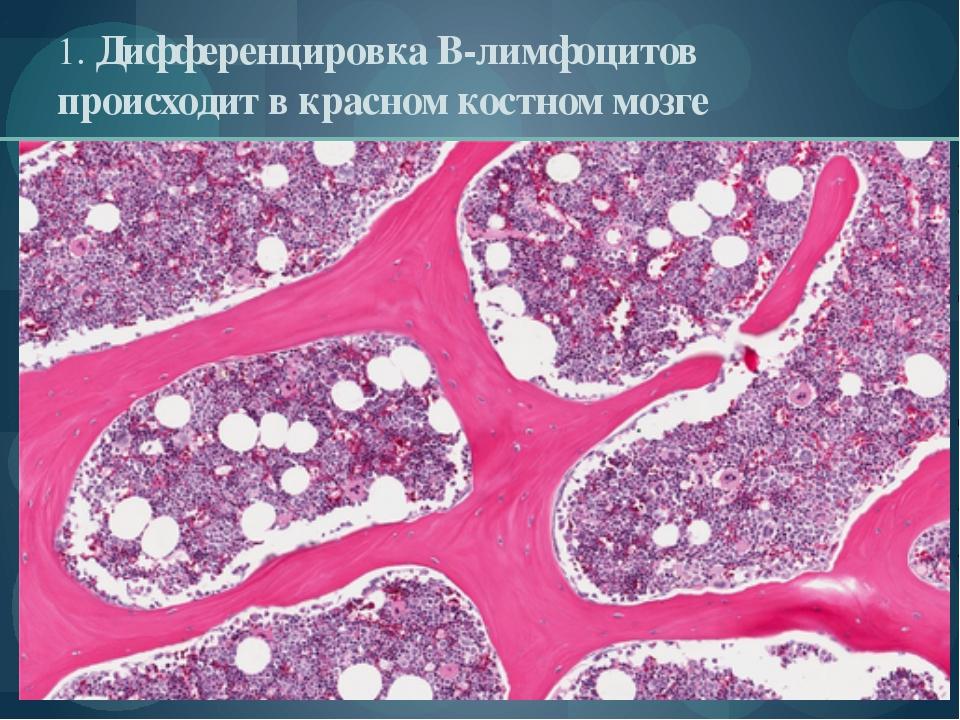 1. Дифференцировка В-лимфоцитов происходит в красном костном мозге