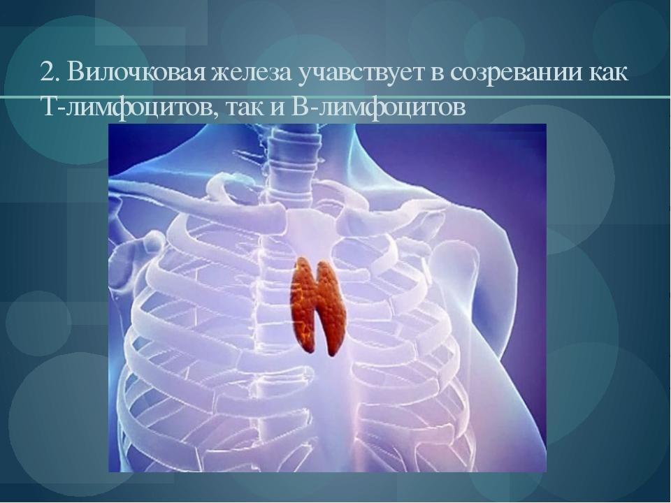 2. Вилочковая железа учавствует в созревании как Т-лимфоцитов, так и В-лимфоц...