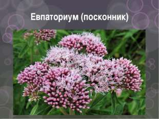 Евпаториум (посконник)