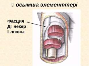 Қосымша элементтері Фасция Дәнекер ұлпасы