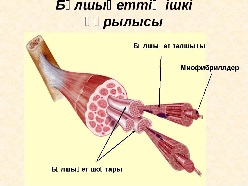 Бұлшықеттің ішкі құрылысы Миофибриллдер Бұлшықет талшығы Бұлшықет шоқтары