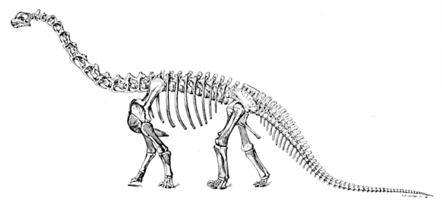 http://images4.wikia.nocookie.net/__cb20090711212814/fossil/images/8/82/Sharp_naturalhistory1921_camarasaurus.jpg