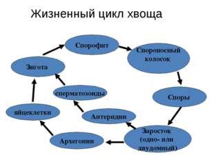 Жизненный цикл хвоща Спорофит Спороносный колосок Споры Заросток (одно- или д
