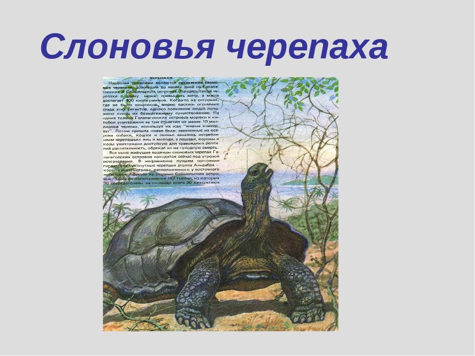 Слоновья черепаха