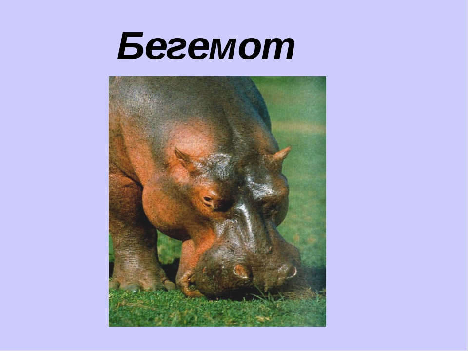 Бегемот