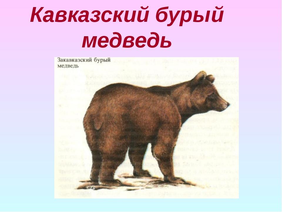 Кавказский бурый медведь