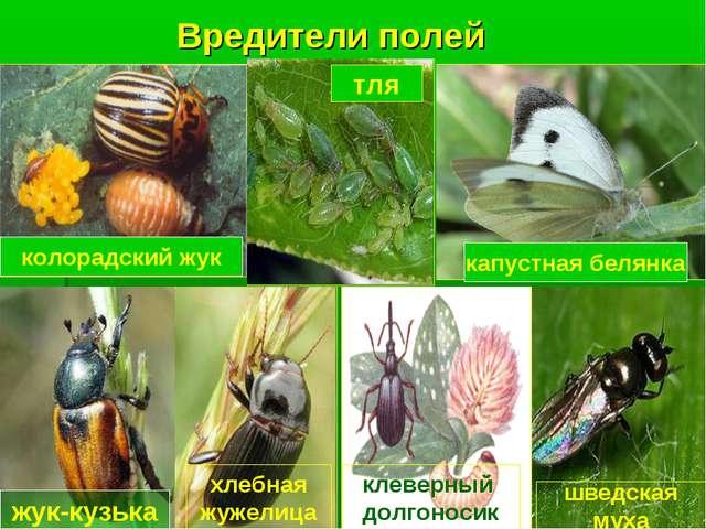 Вредители полей колорадский жук капустная белянка жук-кузька тля хлебная жуже...