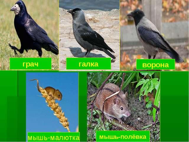 грач галка ворона мышь-малютка мышь-полёвка
