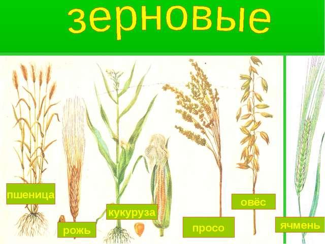 пшеница рожь кукуруза просо овёс ячмень