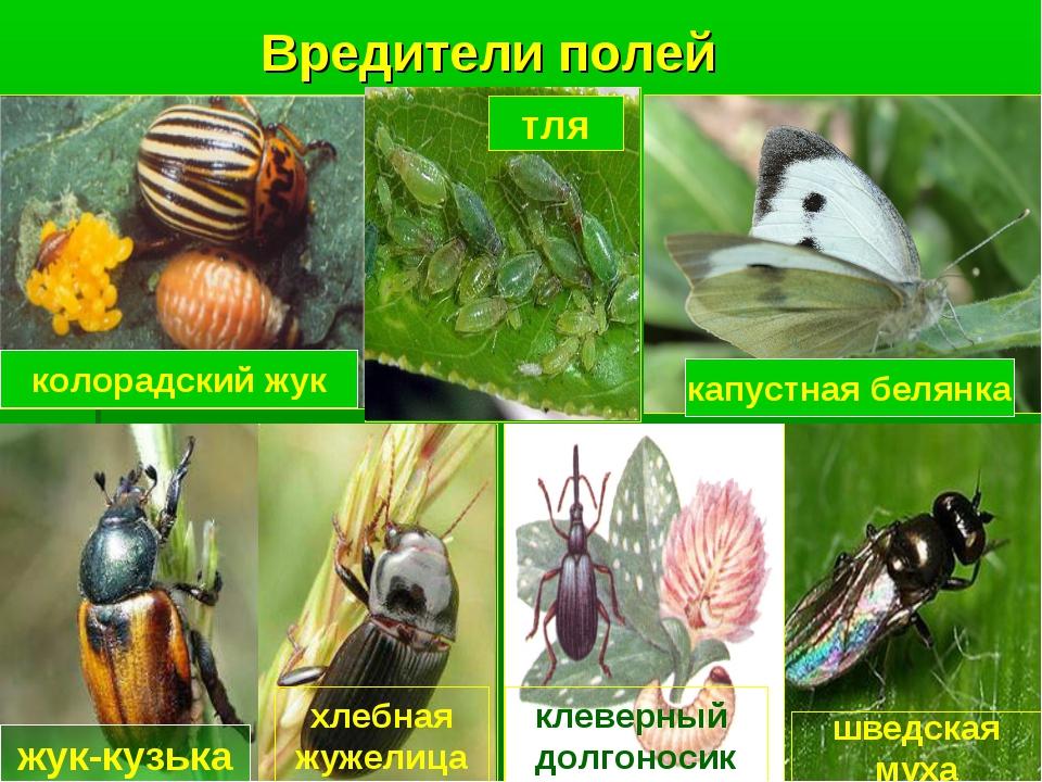 Презентация вредители полей