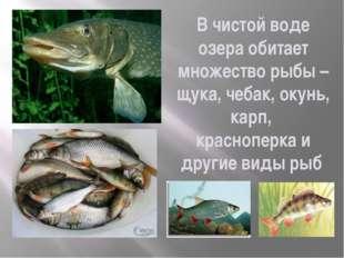В чистой воде озера обитает множество рыбы – щука, чебак, окунь, карп, красно