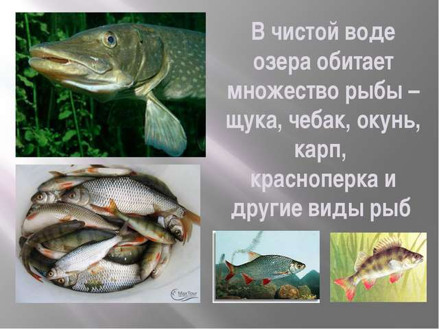 В чистой воде озера обитает множество рыбы – щука, чебак, окунь, карп, красно...