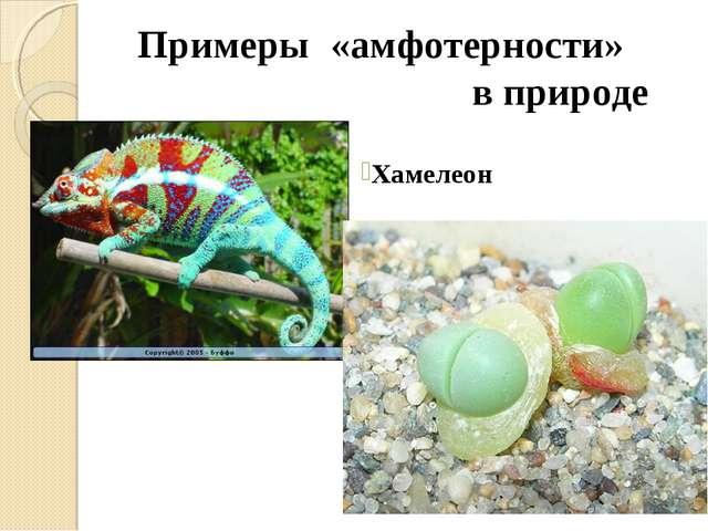 Примеры «амфотерности»  в природе Хамелеон Аргиродерма