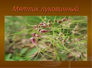 Мятлик луковичный