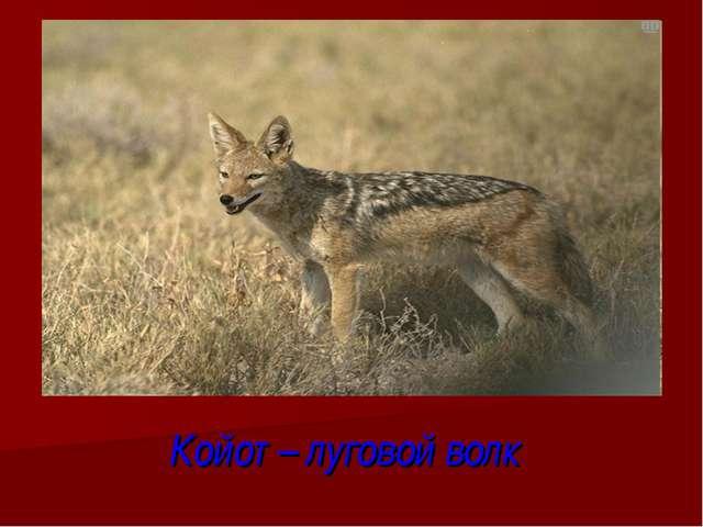 Койот – луговой волк
