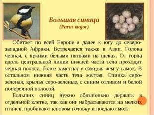 Большая синица (Parus major) Обитает по всей Европе и далее к югу до северо-з