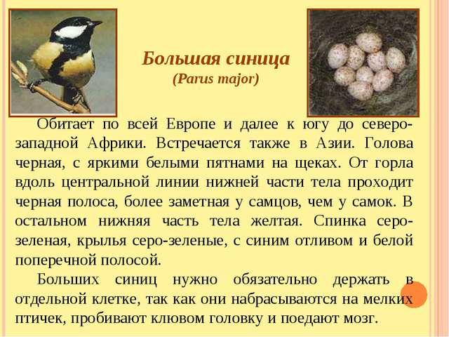 Большая синица (Parus major) Обитает по всей Европе и далее к югу до северо-з...