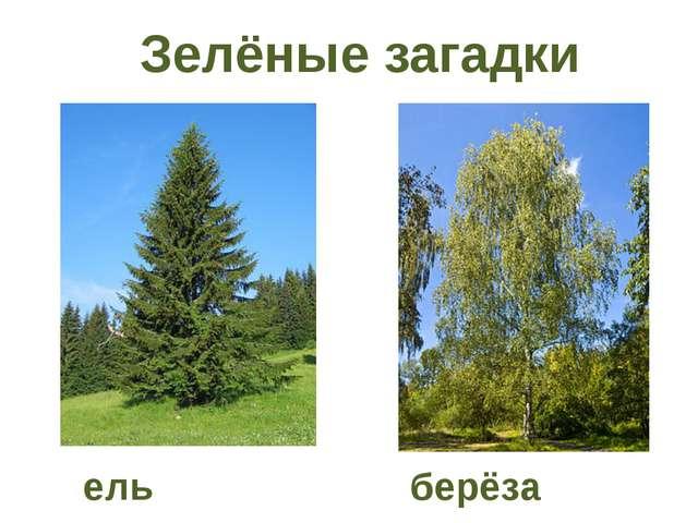Зелёные загадки ель берёза