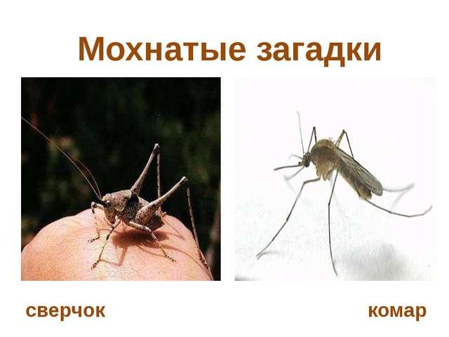 Мохнатые загадки сверчок комар