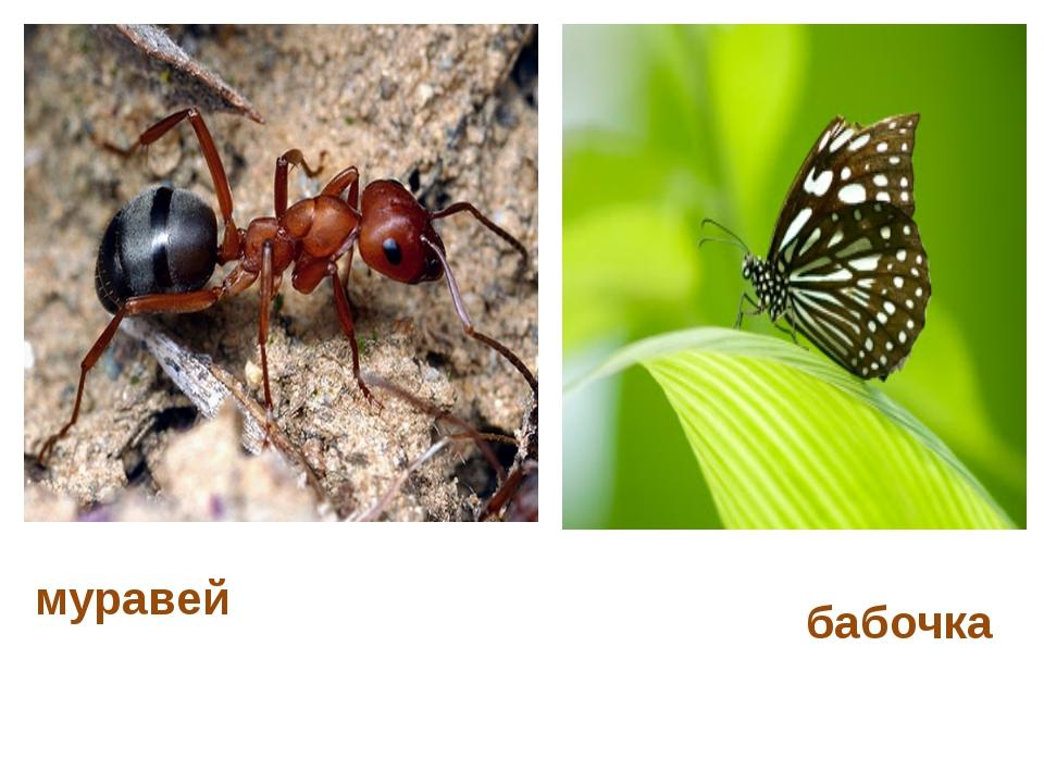 муравей бабочка